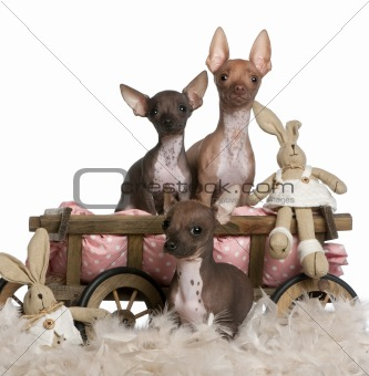 Three Chihuahuas, 6 and 7 months old, with dog bed wagon and Easter stuffed animals in front of white background