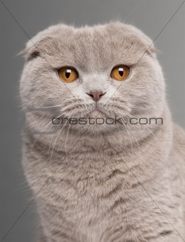 Close-up of Scottish Fold cat, 9 and a half months old, in front of grey background