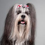 Close-up of Lhasa Apso wearing hairbows, 2 years old, in front of grey background