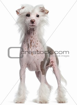 Chinese Crested dog, 4 months old, standing in front of white background