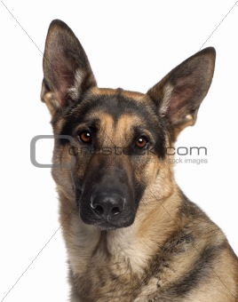 Close-up of German Shepherd Dog, 2 and a half years old, in front of white background