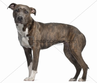 American Staffordshire Terrier, 8 months old, standing in front of white background