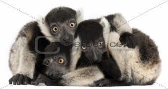 Young Black-and-white ruffed lemurs, Varecia variegata subcincta, 2 months old, in front of white background