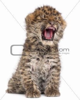 Amur leopard cub yawning, Panthera pardus orientalis, 6 weeks old, in front of white background