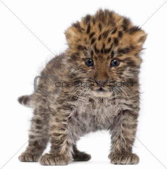 Amur leopard cub, Panthera pardus orientalis, 6 weeks old, in front of white background