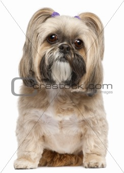 Shih Tzu, 6 years old, sitting in front of white background