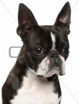Close-up of Boston Terrier, 1 year old, in front of white background