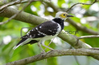 black-collared starling