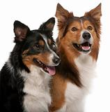 Close-up of Male Border Collie, 7 years old, Female Border Collie, 3 years old, in front of white background