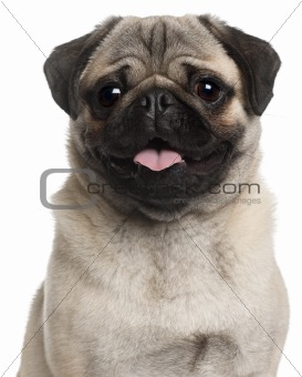 Close-up of Pug, 8 months old, in front of white background