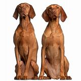Vizslas, 5 and 2 years old, sitting in front of white background