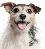 Close-up of Jack Russell Terrier, 7  years old, in front of white background