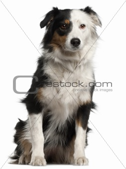 Australian Shepherd dog, 6 years old, sitting in front of white background