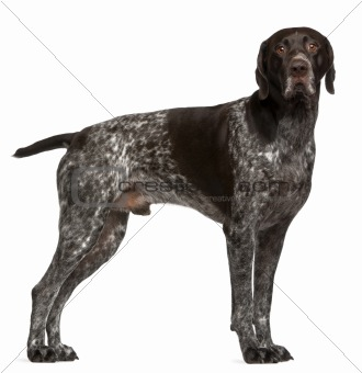 German Shorthaired Pointer, 3 years old, standing in front of white background