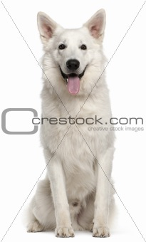 Canadian Shepherd dog, 1 year old, sitting in front of white background