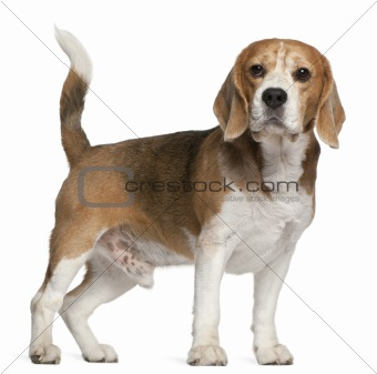 Beagle, 8 years old, standing in front of white background