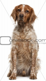 Brittany dog, 3 years old, sitting in front of white background