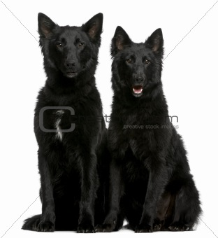 Greenland Dogs, 1 year old, sitting in front of white background