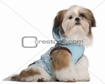 Shih Tzu puppy, 5 months old, dressed up and sitting in front of white background