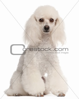 Poodle, 2 years old, sitting in front of white background
