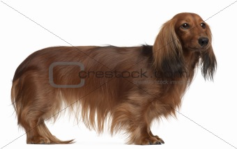 Dachshund, 3 years old, standing in front of white background