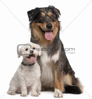 Australian Shepherd dog, 17 months old, and Bichon Frisé, 8 years old, sitting in front of white background