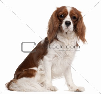 Cavalier King Charles Spaniel, 1 year old, sitting in front of white background