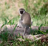 Vervet Monkey, Chlorocebus pygerythrus, in Serengeti National Park, Tanzania, Africa