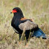 Bateleur, Terathopius ecaudatus, in Serengeti National Park of Tanzania, Africa