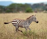 Zebra running in Serengeti National Park, Tanzania, Africa