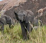 Elephants in Serengeti National Park, Tanzania, Africa