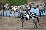 Zebra in Serengeti National Park, Tanzania, Africa