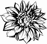 black and white sketch of chrysanthemum