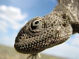 Hanging lizard