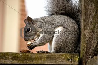 Grey Squirrel Eats a nut