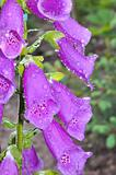 Beautiful violet spring flower with water drops