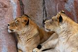 Two Lionesses looking up