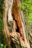 Old decayed tree in the forest