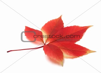 Autumn virginia creeper leaves
