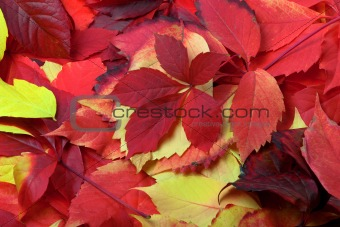 Background of multicolor autumn leaves