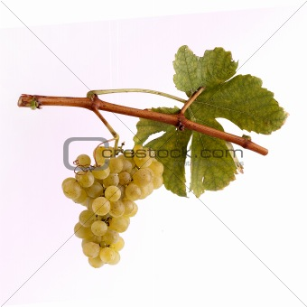 White grapes on a branch with leaf and white background