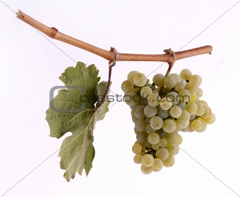 Riesling grapes on a branch with leaf and white background