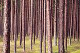 Pine forest trunks.