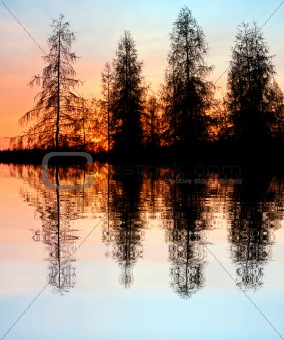 Larch trees at the lake