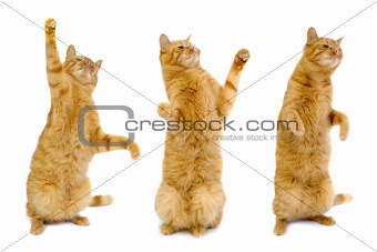 Three dancing cats