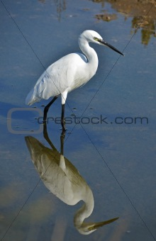 heron reflect in the water