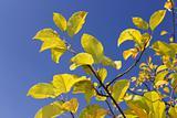 Yellow apple leaves