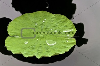 Lotus Leaf with water