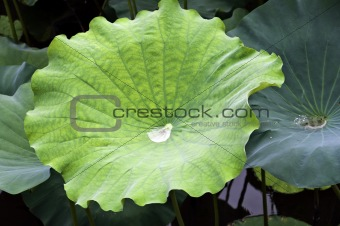 Green Lotus leaf with drop inside