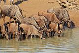 Blue wildebeest drinking
